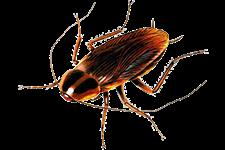 blatte scarafaggi - Blatte