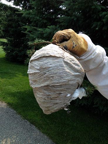 disinfestazione nido vespe - Vespe