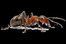 formiche - Insetti, animali e agenti infestanti