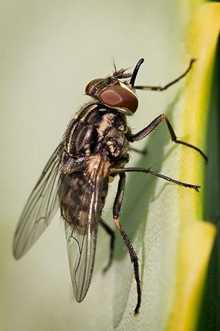 mosca cavallina - Mosche