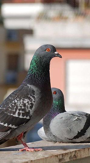 piccioni crop u3946 - Piccioni