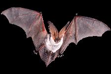 pipistrelli - Insetti, animali e agenti infestanti
