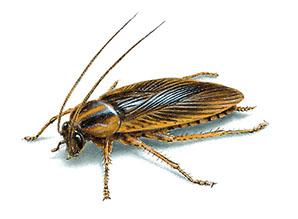 scarafaggi2 - Blatte