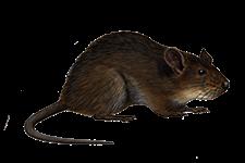 topi - Insetti, animali e agenti infestanti