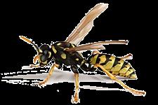 vespe - Insetti, animali e agenti infestanti