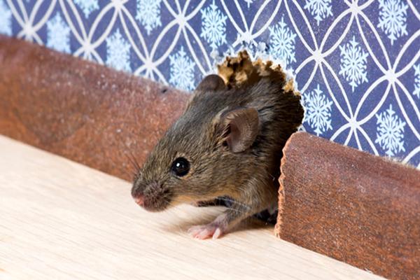 infestazione topi - Come tenere lontano i topi dalla propria Attività