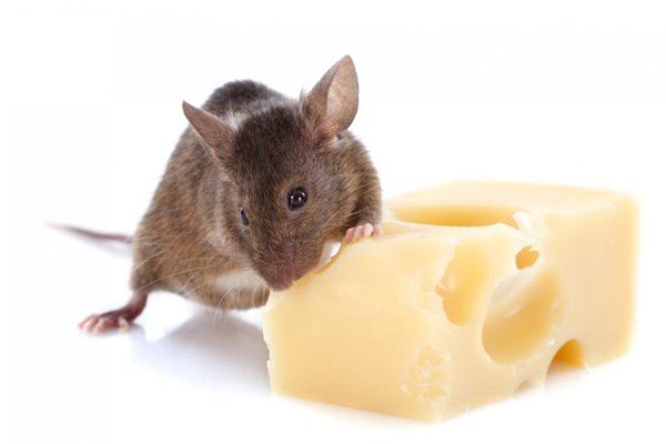 prevenire-infestazione-topi.jpg