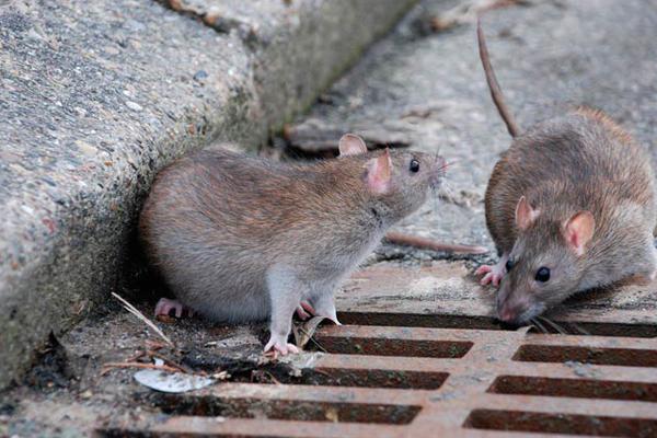 prevenire topi - Come tenere lontano i topi dalla propria Attività