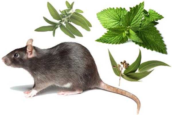 repellenti naturali per topi - Come tenere lontano i topi dalla propria Attività
