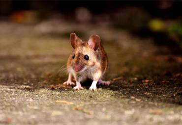 Come tenere lontano i topi dalla propria attività